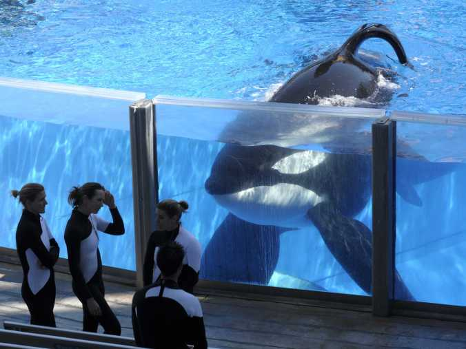 Tilikum (and his unmistakable floppy dorsal fin) pictured at SeaWorld Orlando.